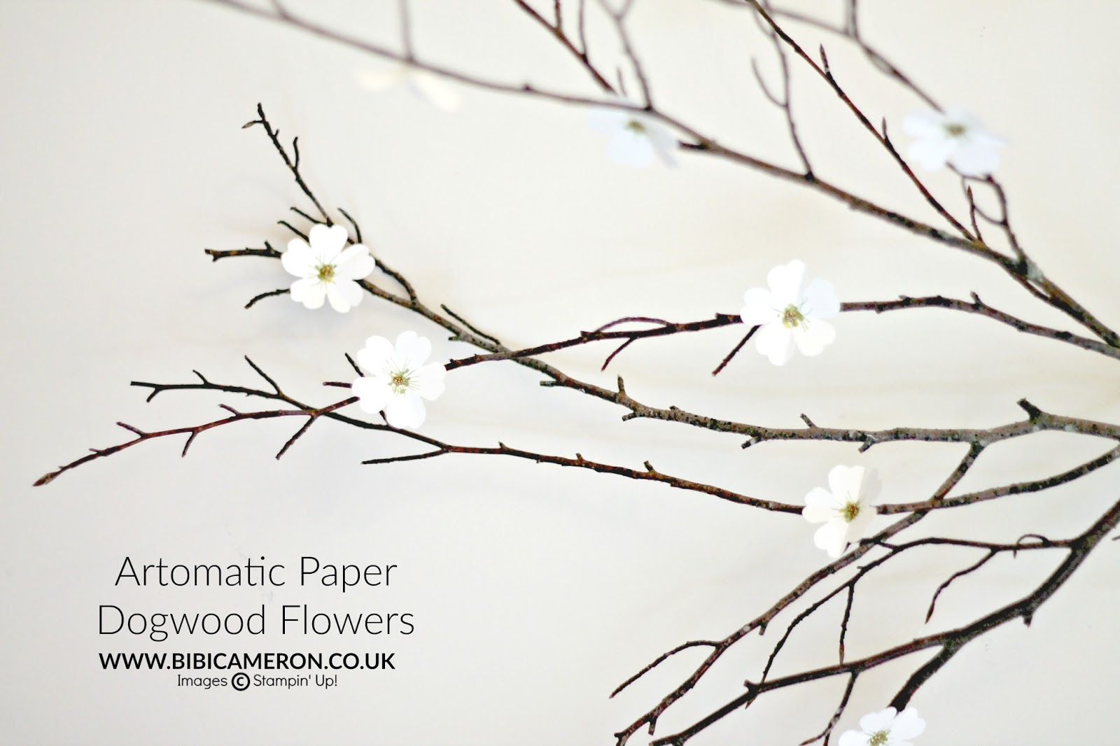 Aromatic Paper Dogwood  Flowers | Video #GDP071